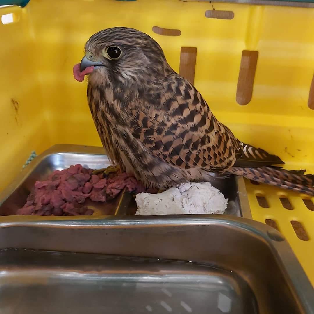 Turnfálki (Falco tinnunculus) Ljósmyndari: Sigurður Kristinn Guðmundsson